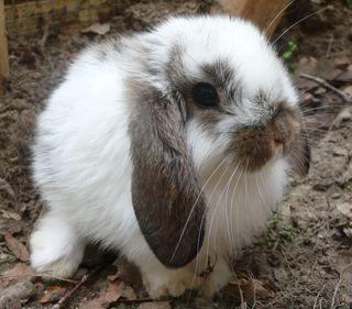 Dad Rabbit